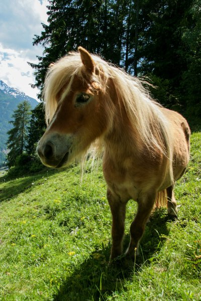 Pony in den Tiroler Alpen